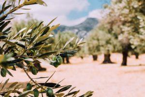 olives et olivers
